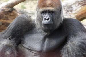 Givskud Zoos hangorilla Samson er død